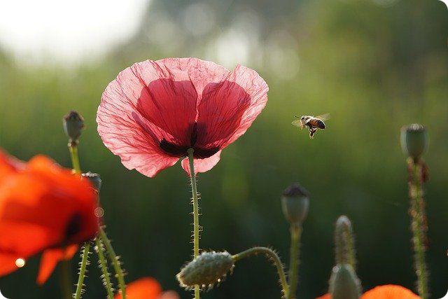 abeille-ajs1980518-pixabay-ldd-r